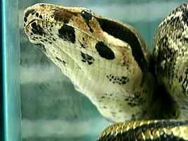 There is also concern that the huge reptiles could serve as potential hosts for parasites and diseases of economic and human health significance.