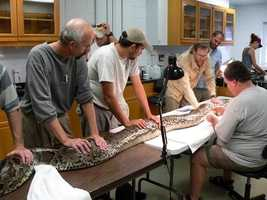 For now, researchers are trying to learn more about these giant constrictors. In the photo above, researchers implant a radio transmitter in a 16-foot, 155-pound female Burmese python at the South Florida Research Center, Everglades National Park. Radio-tracking builds understanding of where pythons spend their time and therefore where they can be controlled in practice.