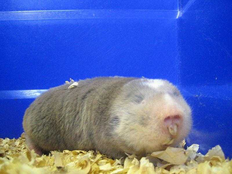 """Zemmiphobia: It certainly sounds frightening -- zemmiphobia is the fear of """"the great mole rat."""""""