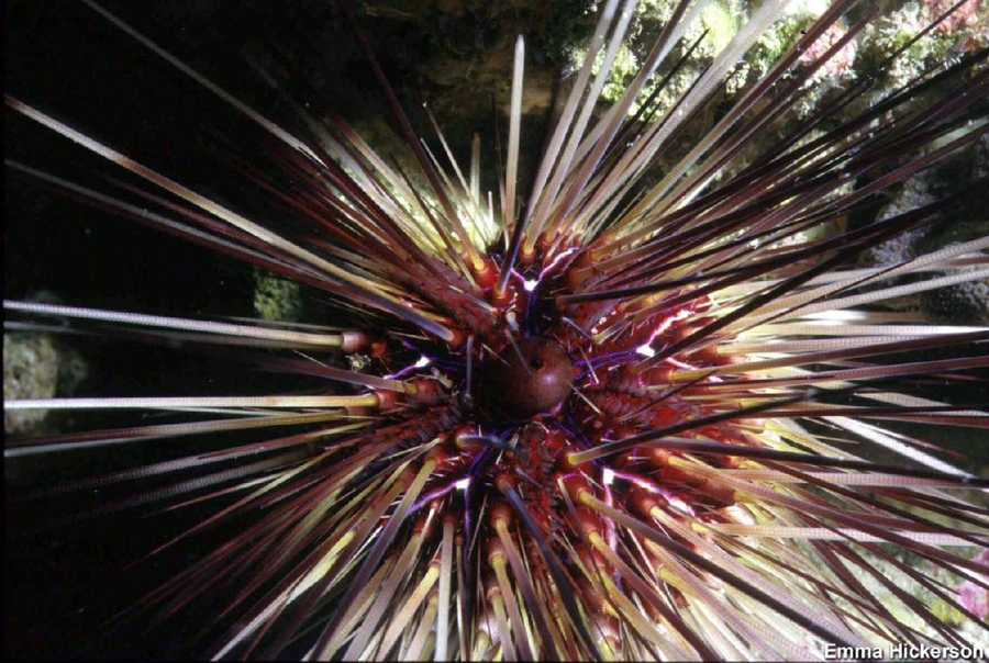 The long-spined urchin experienced a widespread die-off throughout the Caribbean in the early 1980's, but Stetson Bank is the exception because there is an extremely healthy population. Puncturing from the spines of these animals is very painful, and can cause long term discomfort.