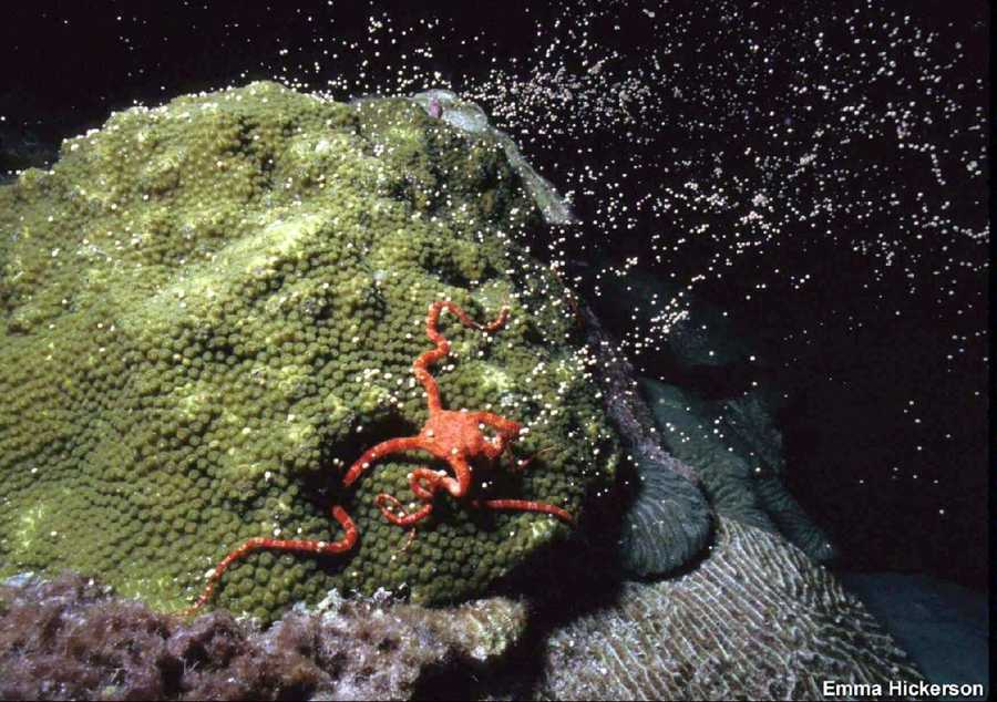 The broadcasting coral spawners release their gametes synchronously around the 8th and 10th night after the full moon in August. Shown here is a star coral releasing egg and sperm bundles. A hungry ruby red brittle star gathers up the gametes with its arms, and creeps back under the coral ledge to consume them in private.
