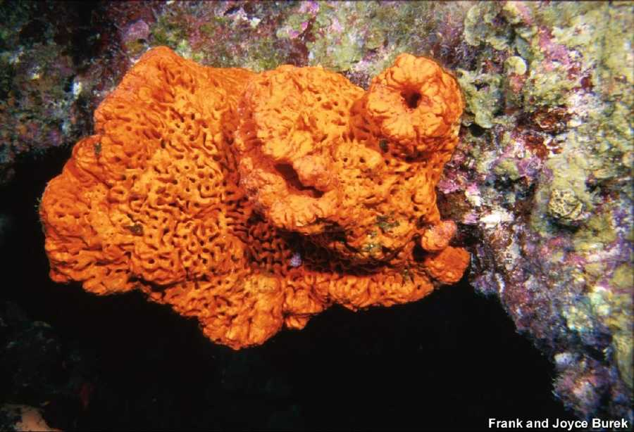 "Elephant ear sponge is a bright species of sponge that is prominent on the reef. At certain times of year it has been reported ""smoking"" by recreational divers. In fact, it is releasing gametes into the water."