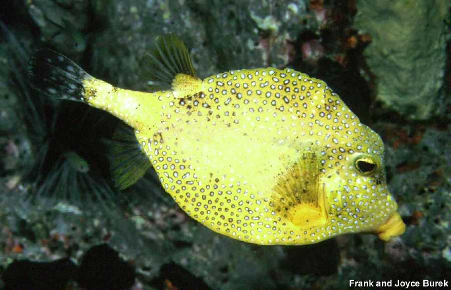 The smooth trunkfish is usually black and white in color, but a Texas A&M University fish biologist documented the discovery of this unusual color morph of the fish, now called the golden-phase smooth trunk fish. A specimen of the fish was collected to verify that in fact it was not a new species.