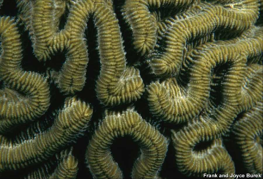 The ridges of the brain coral are truly a work of art. If you look carefully you may see the tiny round mouths of the individual polyps. Two species of brain coral occur at the Flower Gardens - the other is, which has smaller spaces between each ridge, and does not have the pronounced ridge running down the center of the primary ridge.