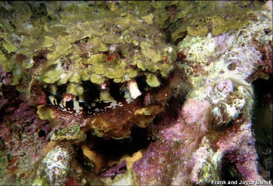 Atlantic thorny-oysters are seen filter feeding on all three banks of the Flower Gardens as well as on the underwater structures of the platforms.
