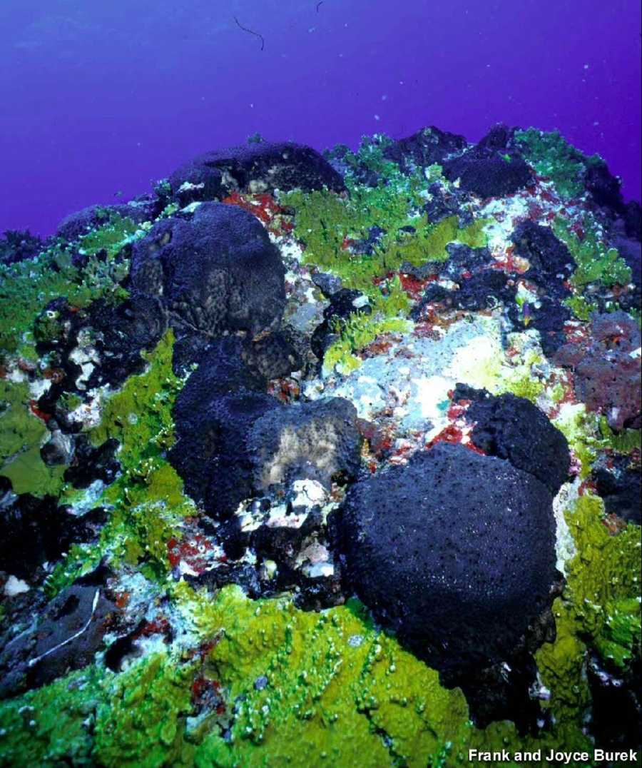 A colorful assortment of fire coral and sponges are a photographer's dream at Stetson Bank. Some species of sponge represented here are the black-ball sponge, a type of red encrusting sponge, and chicken liver sponge, to name a few.