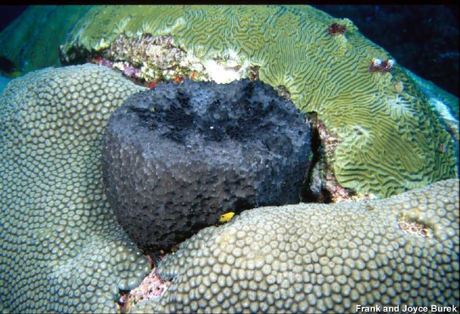 Black-ball sponge, great start coral, and symmetrical brain coral. A juvenile three spot damselfish can be seen in the foreground.