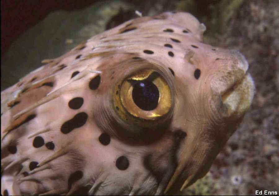 The balloonfish is usually a shy little fellow, who retreats to a safe hole in the reef to peak out warily. If they are startled, they inflate with water to make themselves look a lot bigger and more threatening. They are often encountered on night dives.