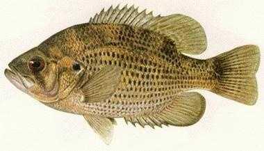 Rock Bass (Ambloplites rupestris): 3 lb. 2 oz. -- caught by David L. Weber of Lake City in 1971 at Elk Creek.
