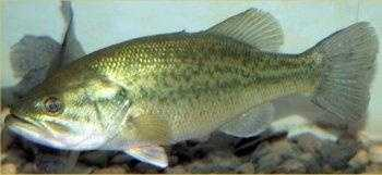 Largemouth Bass (Micropterus salmoides): 11 lb 3 oz. -- caught by Donald Shade of Waynesboro, Pa. in 1983 at the Birch Run Reservoir.