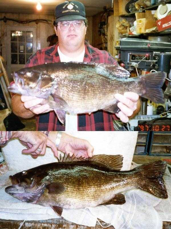 Smallmouth Bass (Micropterus dolomieui): 8 lb. 8 oz. (pictured) -- caught by Robert T. Steelman of Havertown in 1997 at Scotts Run Lake.