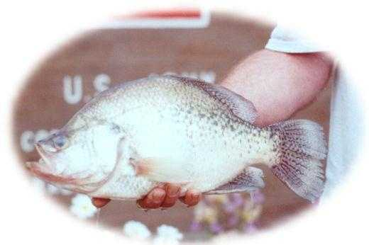 White Crappie (Pomoxis annularis) or Black Crappie (Pomoxis nigromaculatus): 4 lb. 2.88 oz. (pictured) -- caught by Richard A. Pino of Covington in 2000 at Hammond Lake.