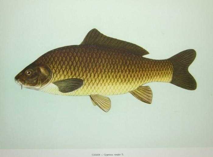 Common Carp (Cyprinus carpio): 52 lb. -- caught by George Brown of Saltillo in 1962 at the Juniata River.