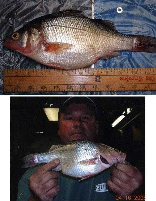 White Perch (Morone americana): 1 lb. 12 oz. (pictured) -- caught by James Clark of Philadelphia in 2008 at the Delaware River.