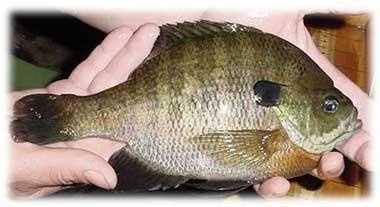 Bluegill (Lepomis macrochirus): 2 lb. 9 oz. -- caught by Tom Twincheck of Blairsville in 1983 at Keystone Lake.