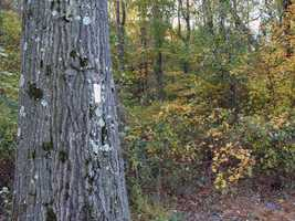This is an excellent trail to see some of the largest trees in the area. These large second growth oaks, hickories and beeches could be old growth stands in the future.