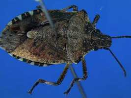 The most common pests include the brown marmorated stink bug, multicolored Asian lady beetle, and the boxelder bug, according to the official.