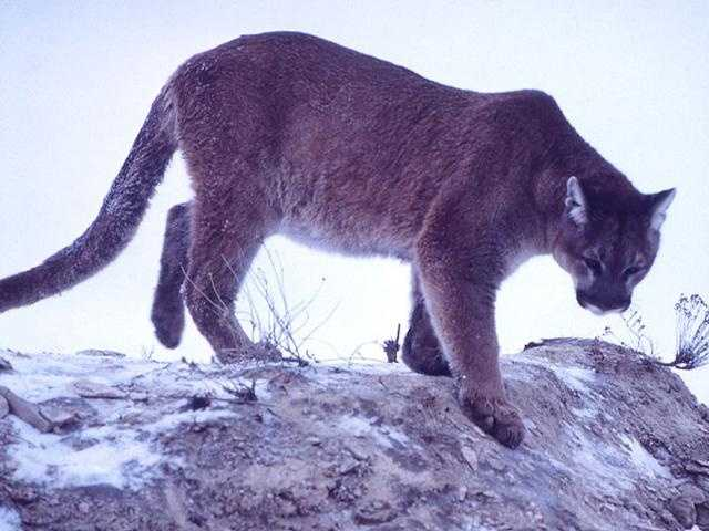 In 2002, a Dauphin County resident was prosecuted for illegal possession of a cougar, according to the commission.