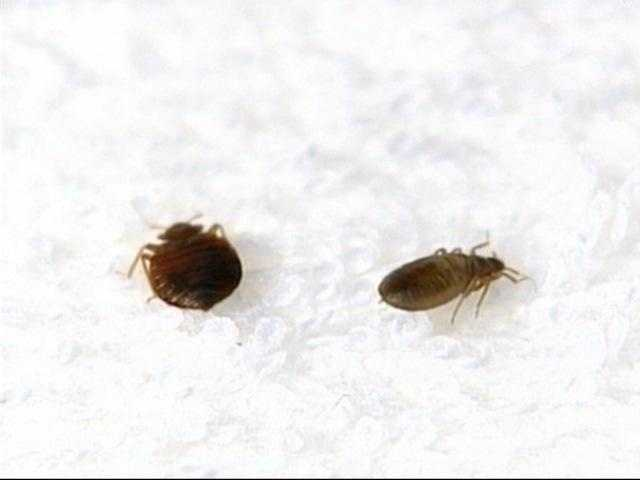 Now to an important question: How do you get rid of bedbugs? That can actually be very difficult.