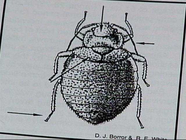 Bedbugs also have two antennae.