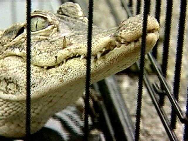 "The Game Commission issues permits for exotic pet ownership. The Pa. Game Code states, ""The commission may issue permits to persons to possess exotic wildlife which shall authorize the holder to purchase, receive or possess exotic wildlife from any lawful source from within or without this Commonwealth."" However, in order for a person to get an exotic pet permit, the individual must show that they can care for the animal. ""No permit provided for in this section shall be granted until the commission is satisfied that the provisions for housing and caring for such exotic wildlife and for protecting the public are proper and adequate and in accordance with the standards established by the commission,"" the code states. A person who owns an exotic pet without a license would likely face a summary offense (a petty criminal offense) and a fine. The fine can vary based on court findings."
