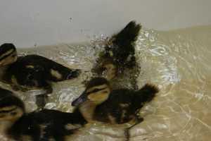 Mallard ducks can weigh 2 to 3 pounds.