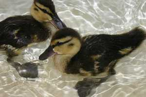 The Wisconsin Humane Society reports the ducklings are growing and are now about 3 times as big as when they arrived.