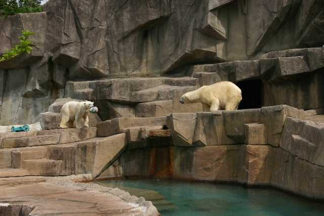 """Wilhelm (""""Willie""""), a male, is at the zoo temporarily while his exhibit at the North Carolina Zoo is finished. Snow Lilly, a female, is a permanent resident."""