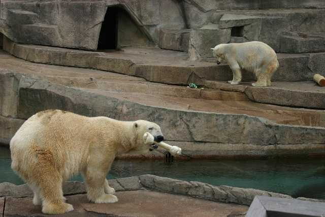 The bears remained separated upon his arrival until they became accustomed to each other.