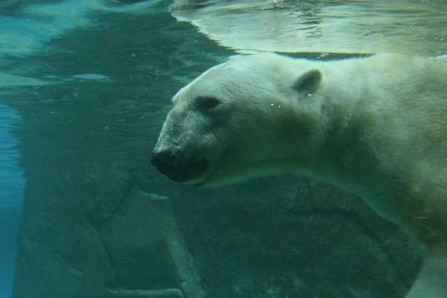 Willie is a captive-born bear and has been at the North Carolina Zoo since 2002.
