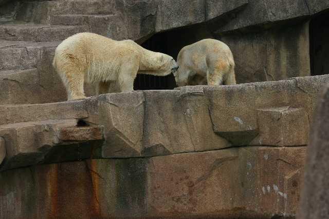 Polar bears dine on both fish and veggies.