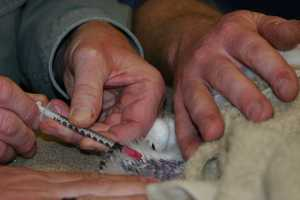 A blood draw/DNA sample is also taken from each bird.