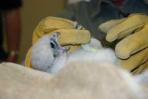 Often a towel is placed over the bird's head to help keep them calm during the procedures.