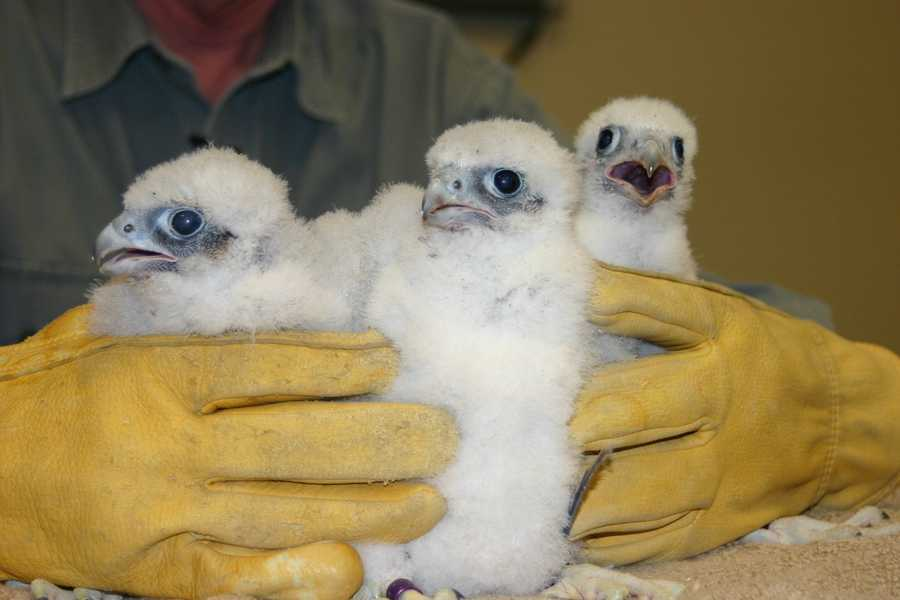 What would a fifth grader name a falcon?  Lightning, Hawkeye and Tony.  All three are males.