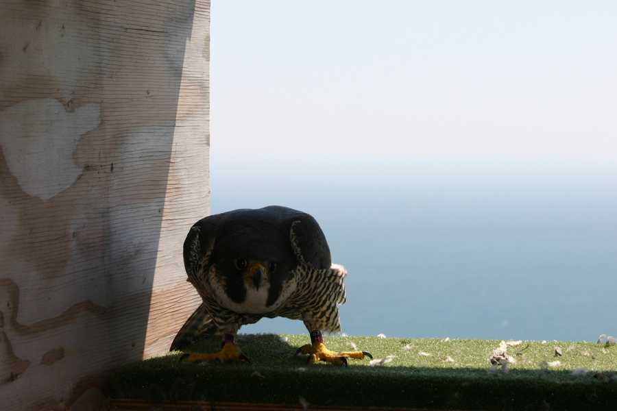 The adult female (mom) falcon is inside waiting for her chicks to be returned (Lake Michigan in the background).