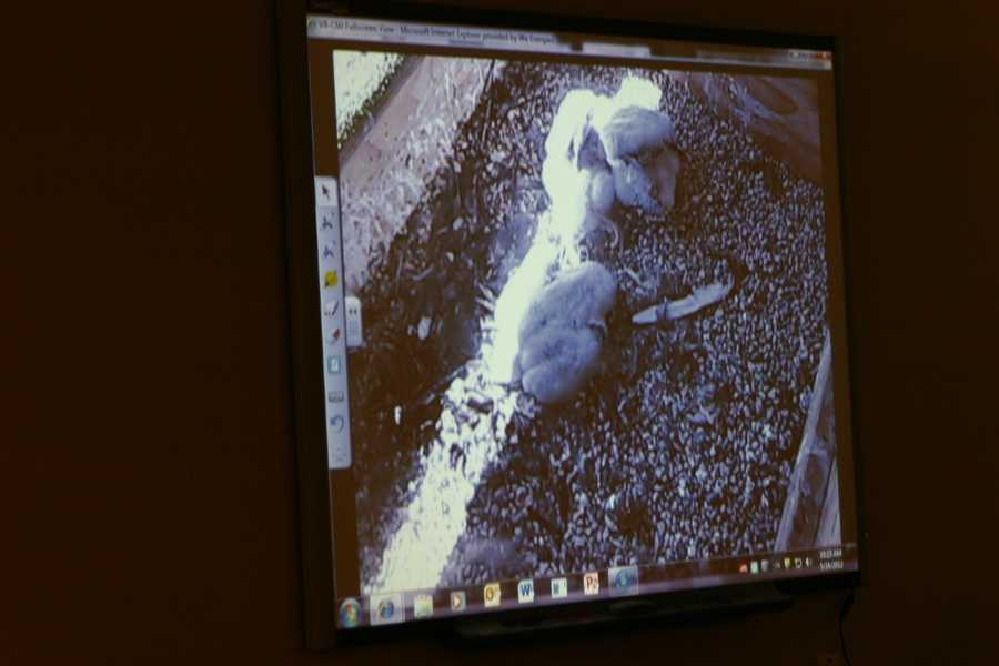 The students could see the falcons on a live webcam as the chicks were removed from the nesting box. Video or photos of all of the WE Energies site can be found on their website.
