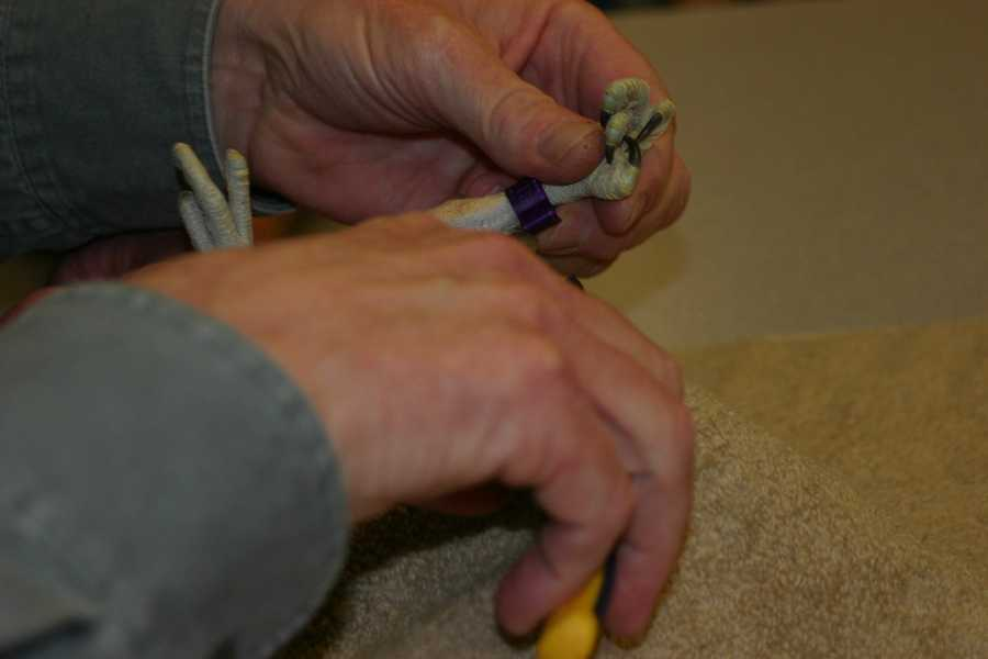 The banding does not hurt the birds and allows researchers to track the birds progress and movement.