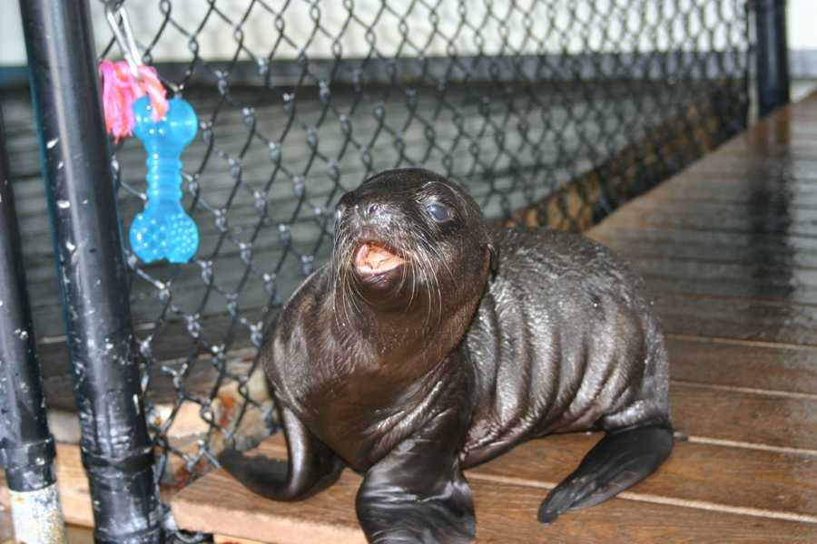 Colby, a California sea lion was born at the Milwaukee County Zoo on June 20, 2012.