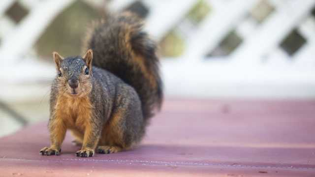 Squirrel on table