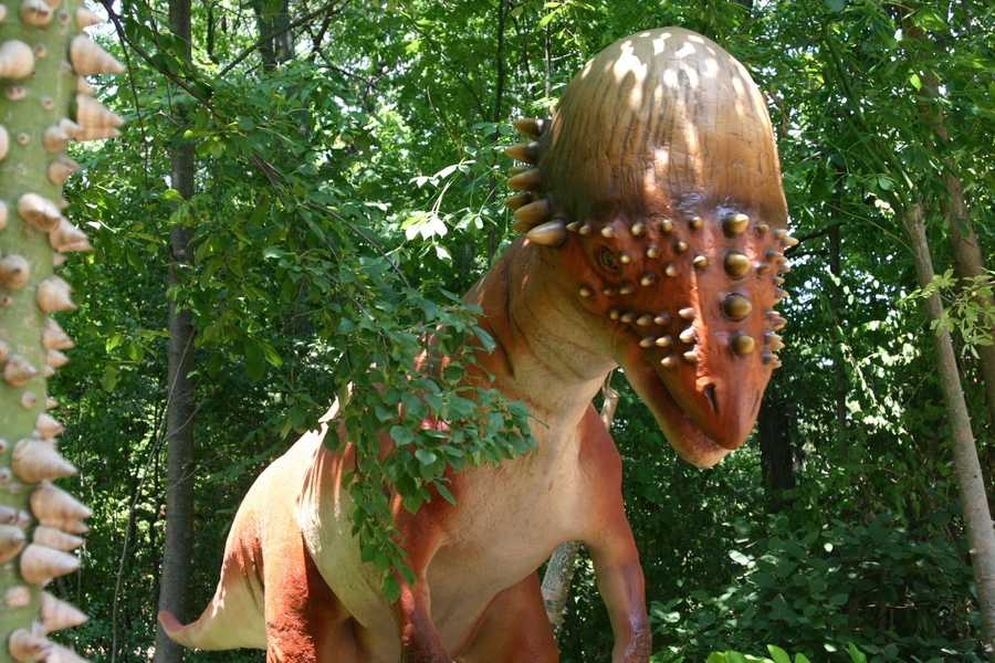 "Pachycephalosaurus (Pack-ee-sef-Ah-Low-SORE-us) or ""Thick-headed Lizard"" was a plant-eater in North America during the Cretaceous period."