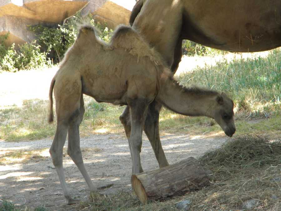 """Two humps resemble the letter """"B"""" (Bactrian) and one hump resembles the letter """"D"""" (Dromedary""""."""