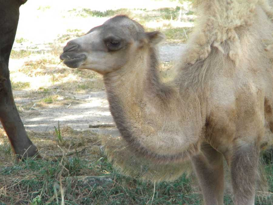 Addi-Jean, A.J. for short, was born at the Milwaukee County Zoo on May 4, 2012 at 7:30am.