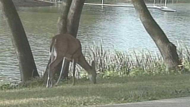 Deer greets morning joggers along lakefront