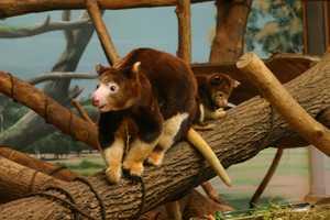 Matschie's tree kangaroos are endangered in the wild.