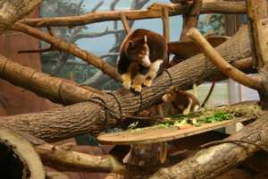 Tia is a baby Matschie's tree kangaroo.