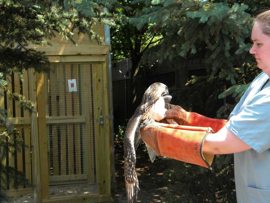 This hawk was found dehydrated and too weak to fly and has been rehabbing at WHS.