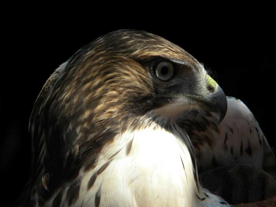 "This red-tailed hawk is among the first birds to test out the new ""flight cage"" at Wisconsin Humane Society."