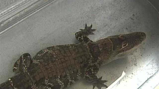 Alligator Removed from Milwaukee Home