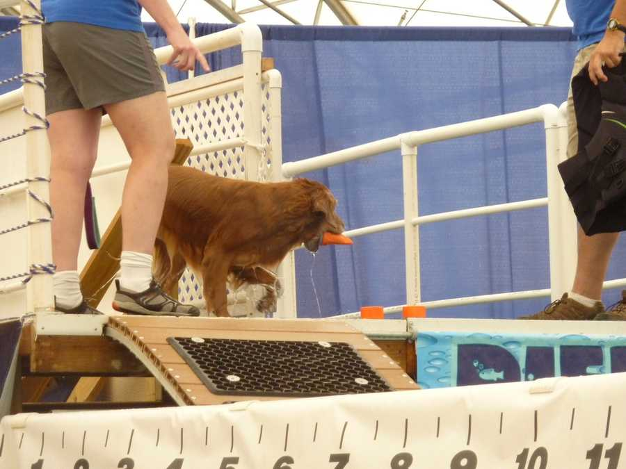 """After some of the more professional dogs show the crowd how it is done the """"amateur"""" competition begins."""