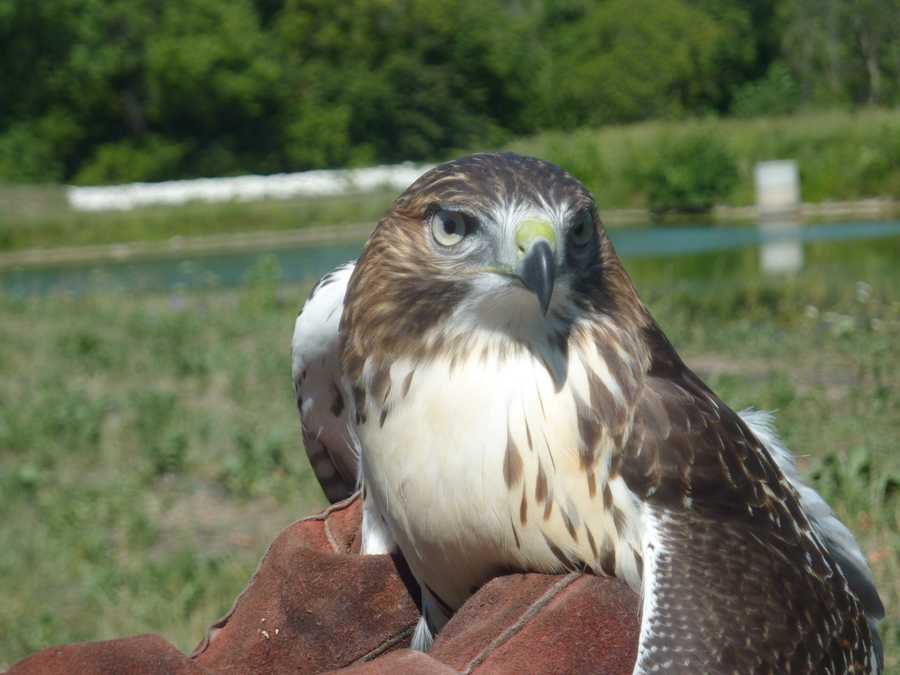 This juvenile hawk was born this year and is about 4 months old.